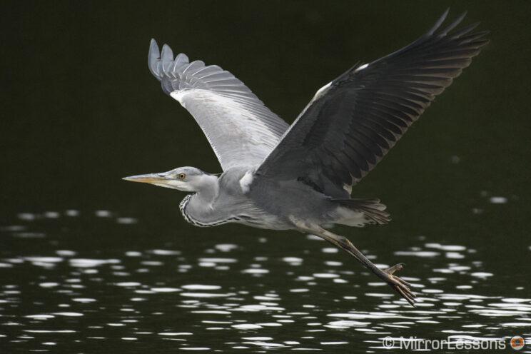 grey heron flying above water