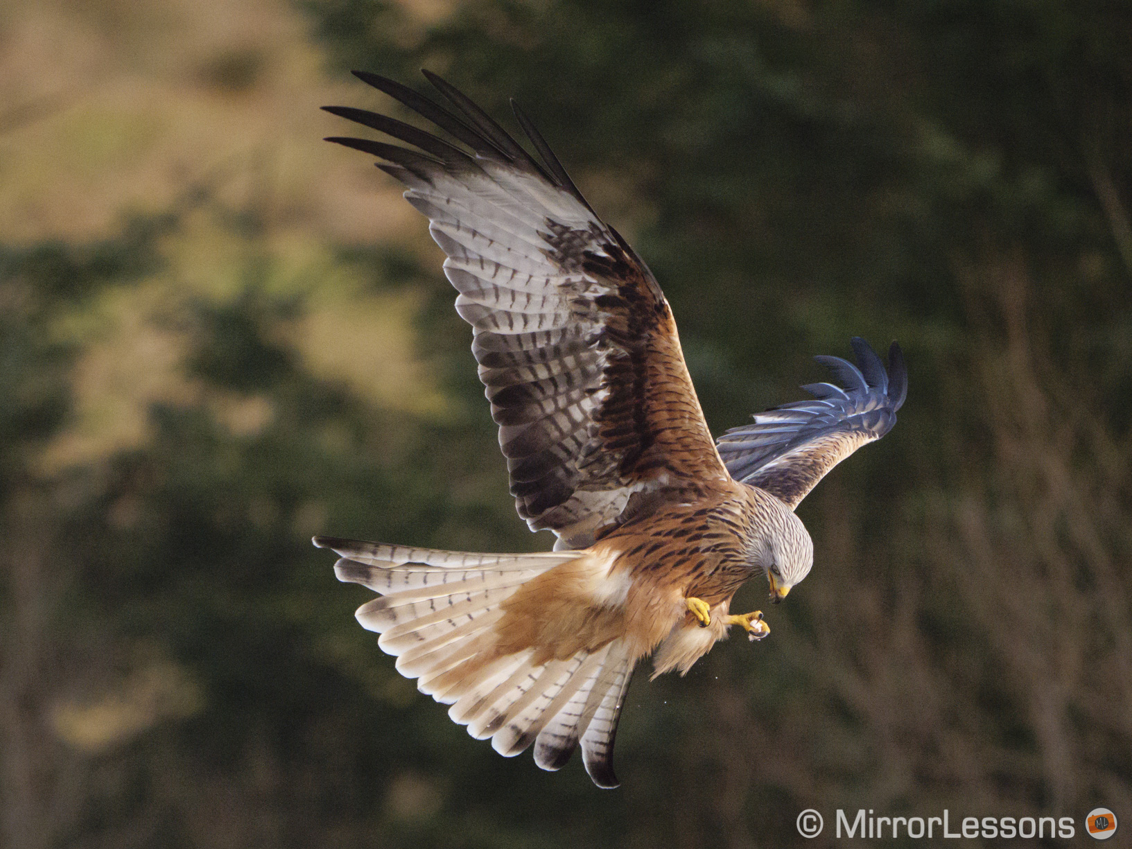 red kite bringing the food it holds with its paw to its beak