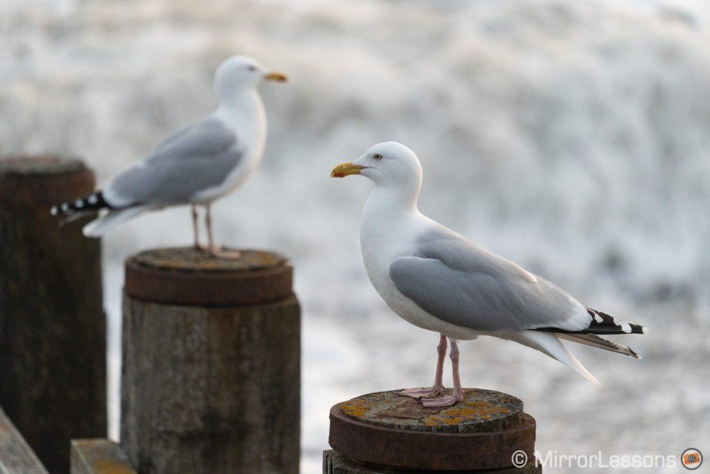seagulls resting