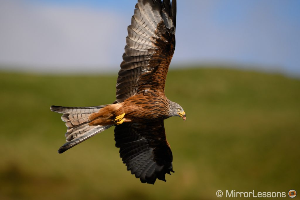 Red kite flying on a sunny day