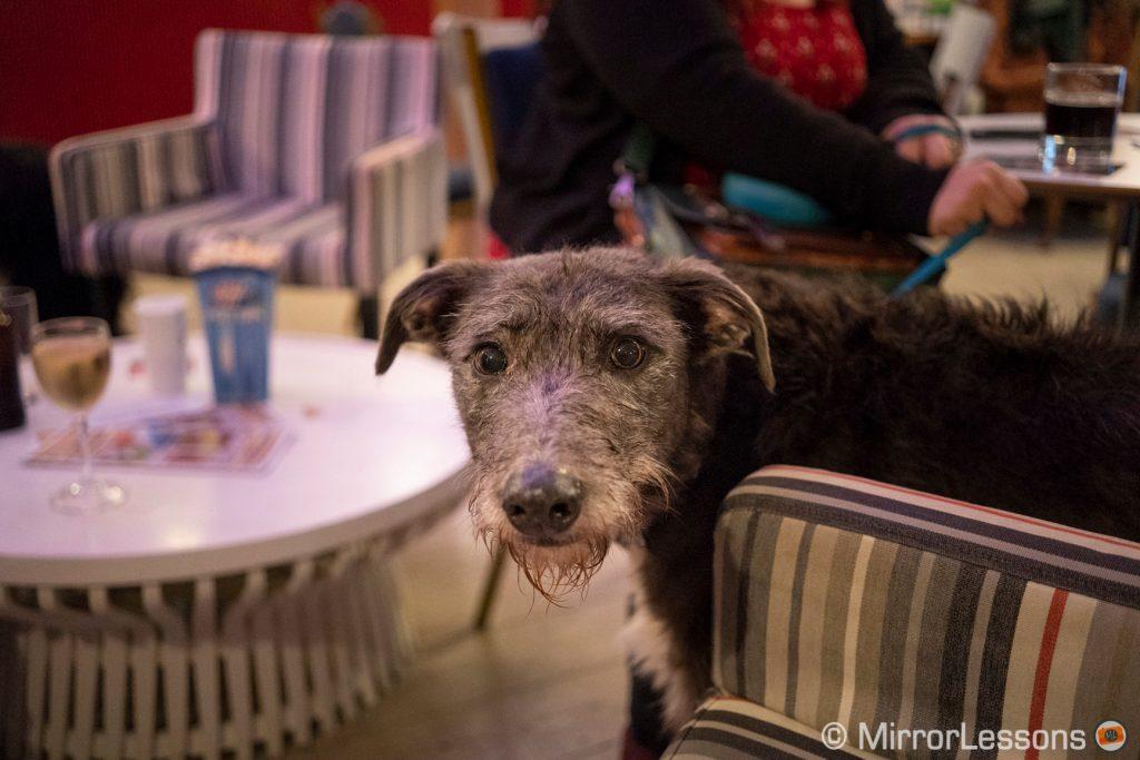grey dog looking at the camera inside a small bar