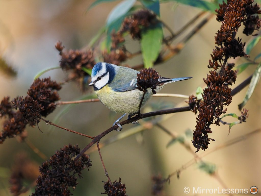 blue tit on a thin branch