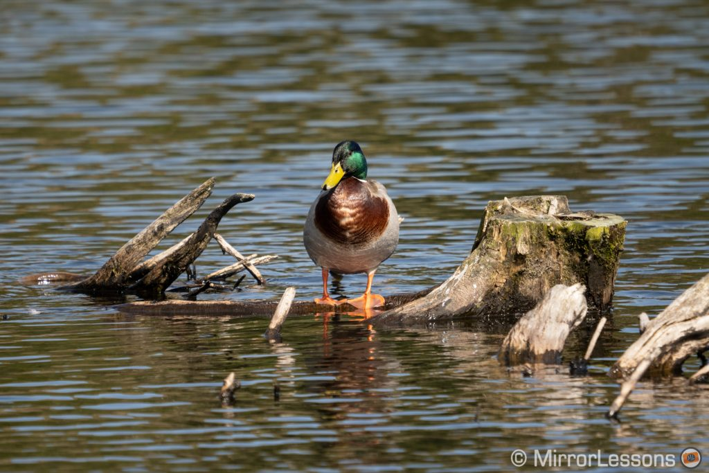 mallard duck standing on a log above the surface of the water