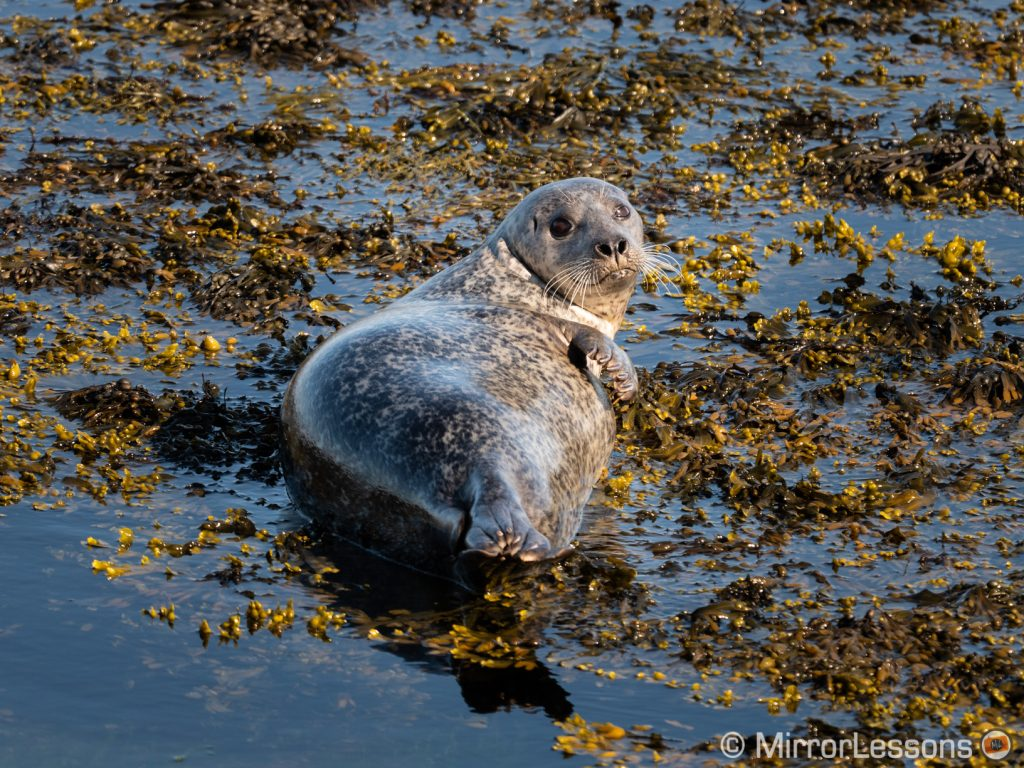 grey seal resting in the water and looking back towards me