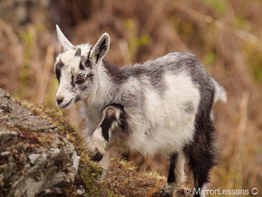 wild goat climbing a rock