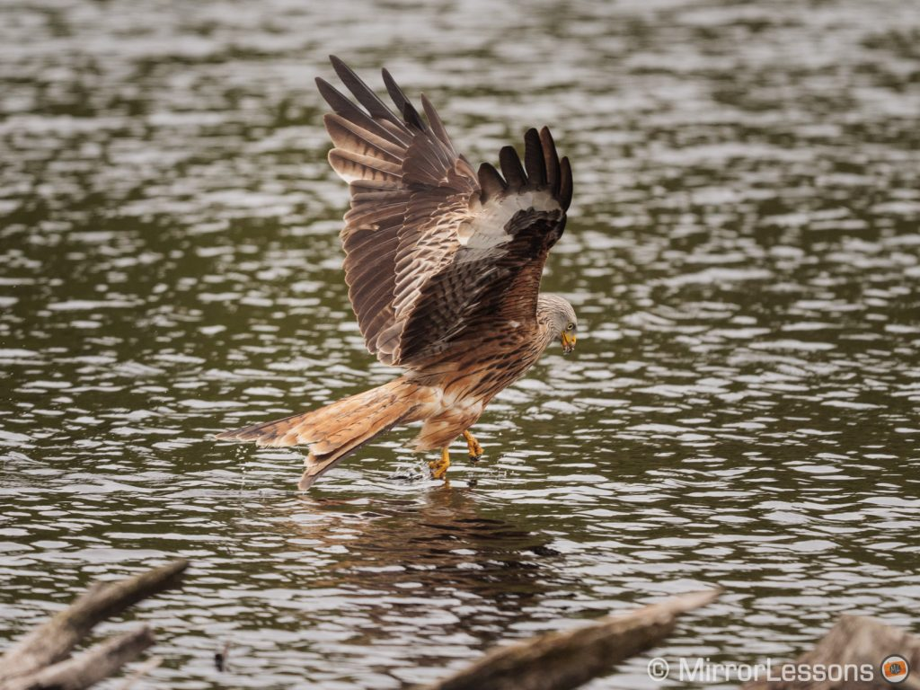 red kite grabbing food in the water