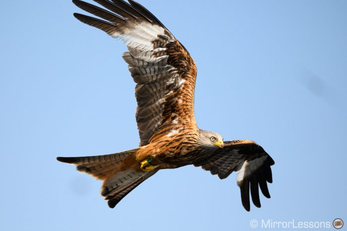 Red kite against a light blue sky