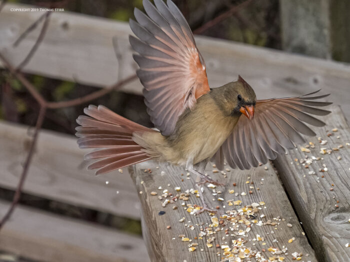 Female cardinal landing on a bench
