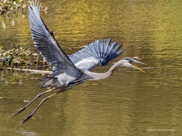 A heron flying