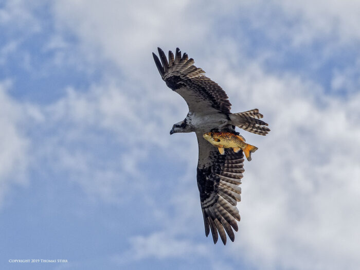 An osprey flying with a fish in its talons