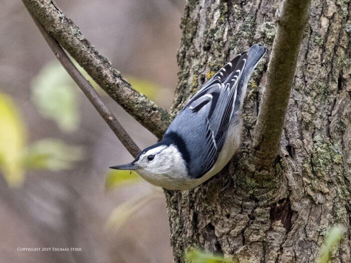 A woodpecker in a tree