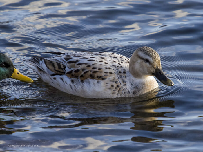 A duck on the water