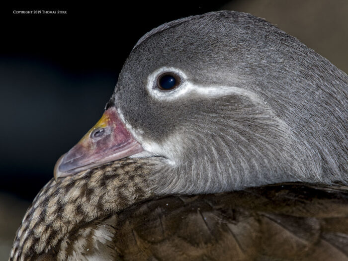 A close up of a duck's head