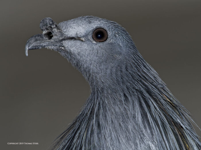 A close up of a pigeon's head