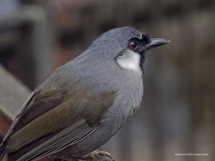 A close up of a grey bird