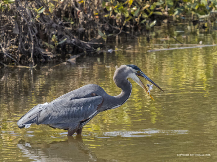 A heron eating a fish in the water
