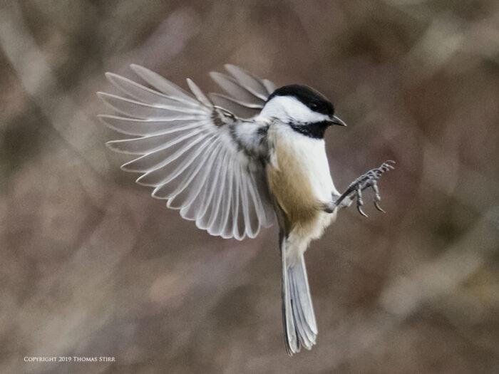 A tit flying