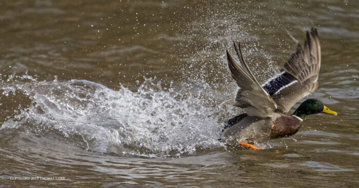A duck skimming the water
