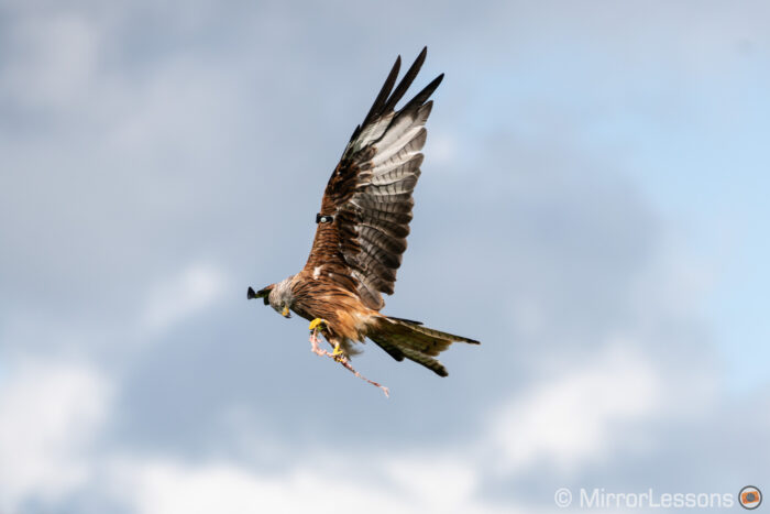 Red kite flying with meat in its talons