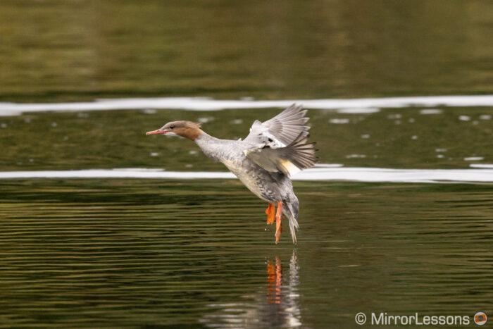 Red-breasted merganser landing on the water