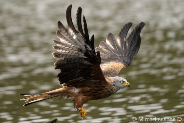 Red kite flying above the water