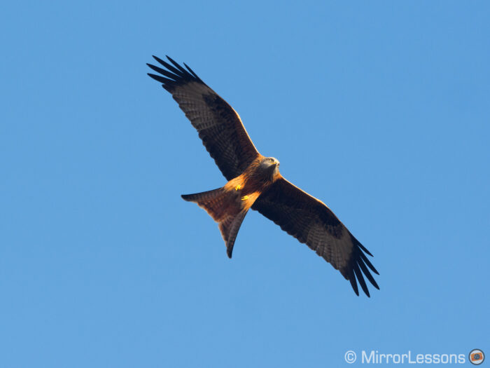 A red kite with its wings spread