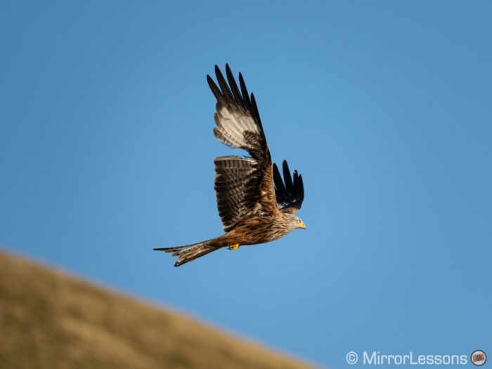 Red kite flying with broken wing