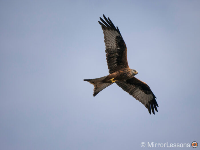 A red kite flying