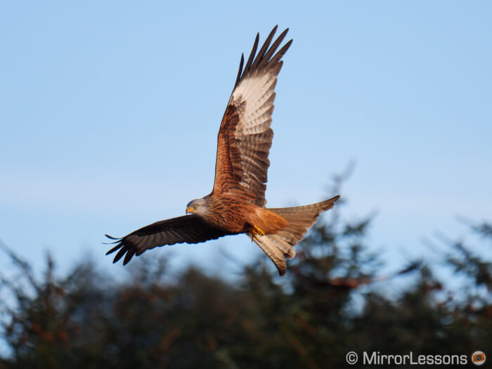 Red kite flying in the early evening
