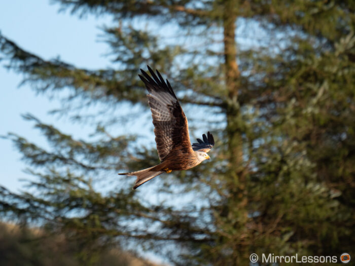 A red kite against the trees