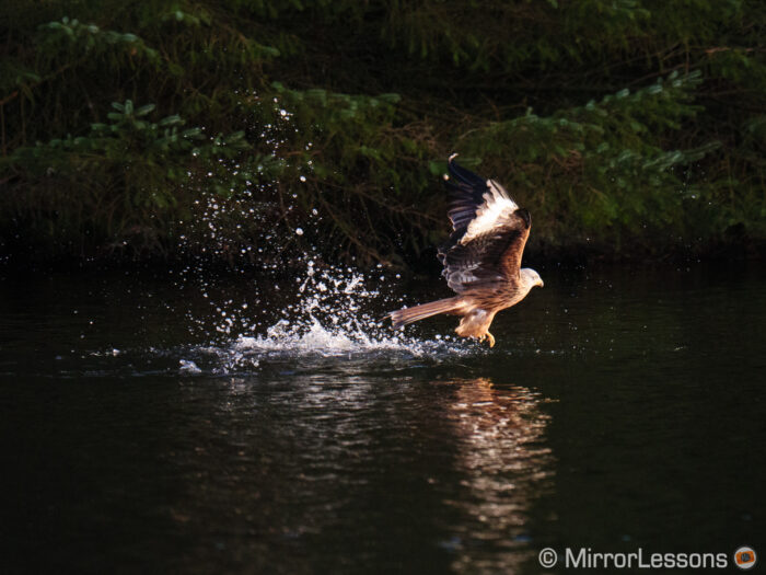 Red kite skimming the water