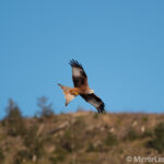 Red kite in focus