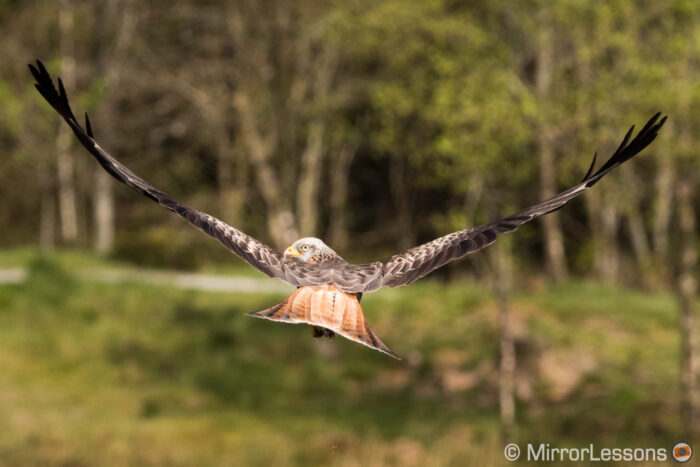 Rear view of a flying red kite
