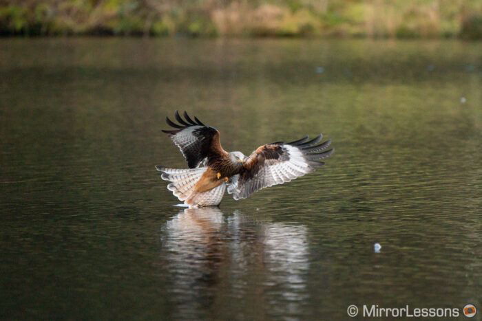 Red kite diving into the water