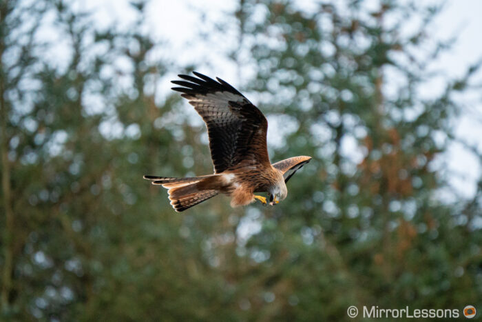 red kite flying against busy background and eating at the same time