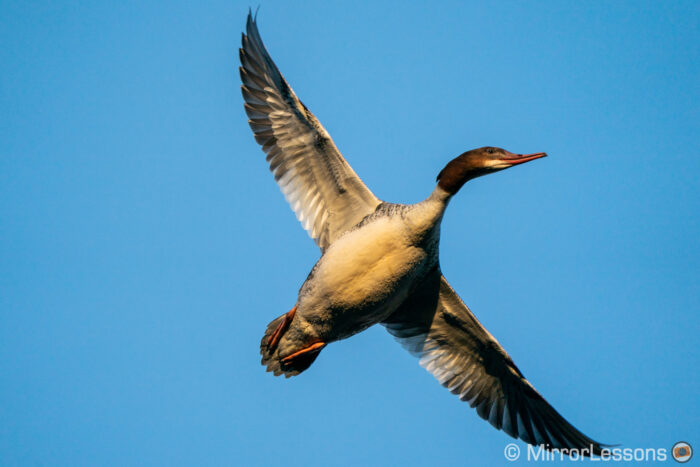 goosander in flight against the blue sky