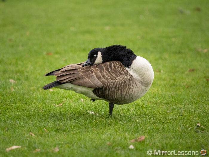 A Canada goose taken with the E-M1 III