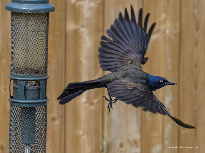 A flying crow by a birdfeeder