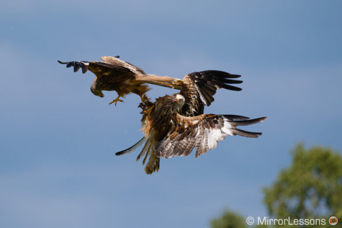 two red kites fighting
