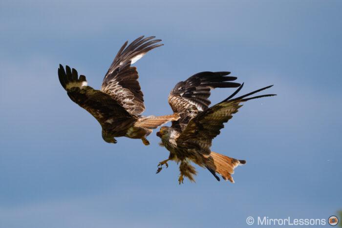 fuji xt4 birds fighting