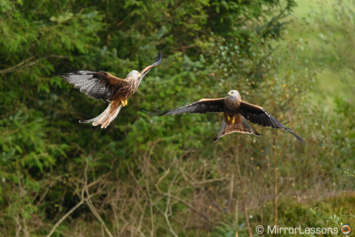 two red kites flying against trees