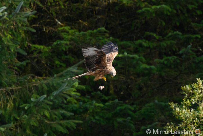red kite flying against trees and dropping a piece of meat