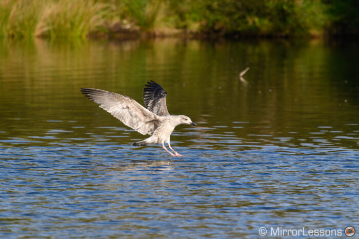 young seagull landing on the water