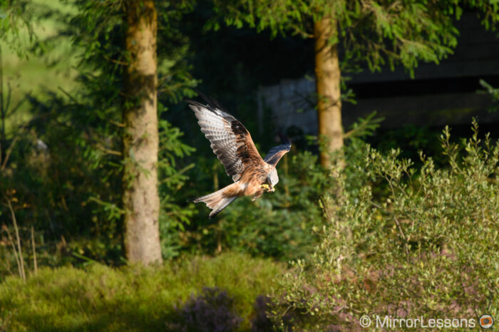 red kite eating in flight with trees in the background