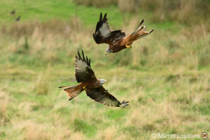 two red kites take with the nikon z7