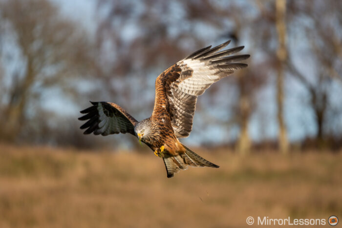 red kite flying against trees with a bit of meat and grass in its mouth, warm light from the sun near sunset time