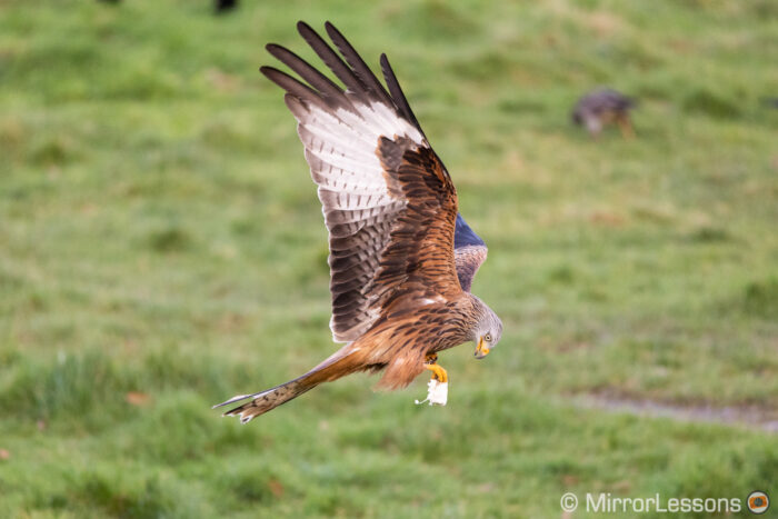 red kite flying low to the ground with a piece of meat in its paws
