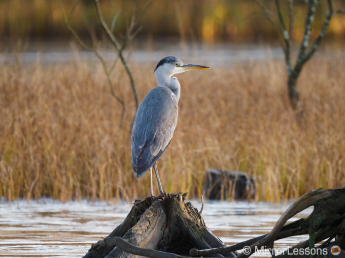 grey heron resting on a piece of wood on the water