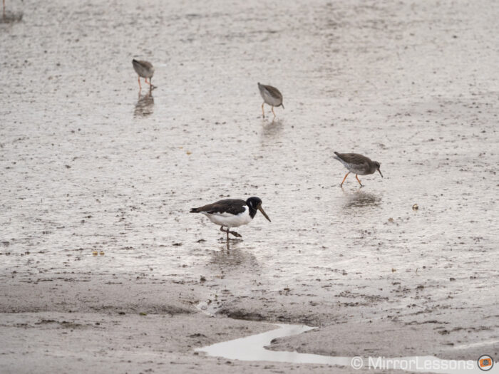 a oystercatcher and three redshanks on a muddy beach in the distance