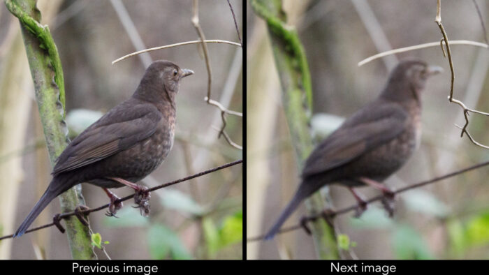 two images of a juvenile blackbird side by side, both out of focus with the camera having focused on different branches